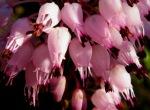 erica - fiori 1