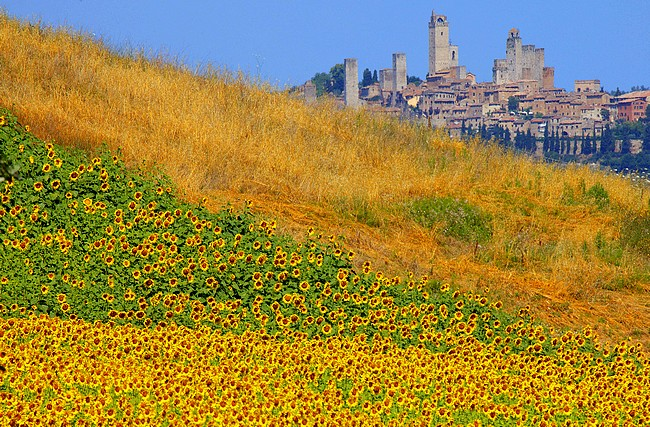Sunflowers grow on a hillside near San Gimignano (Background) on July 3, 2011. AFP PHOTO / FABIO MUZZI